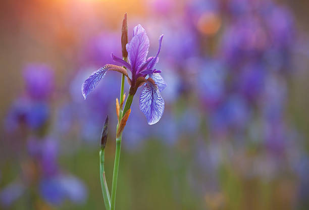 close-up of purple siberian iris with low light - iris flower stock photos and pictures