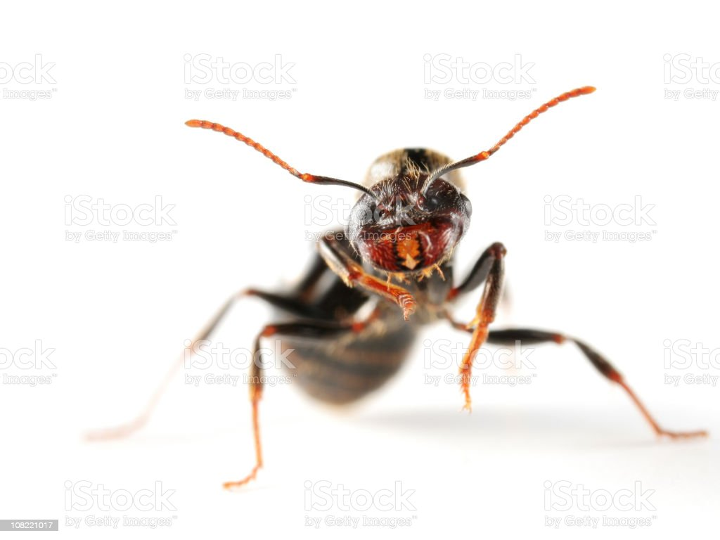 Close-up of Queen Ant on White Background stock photo