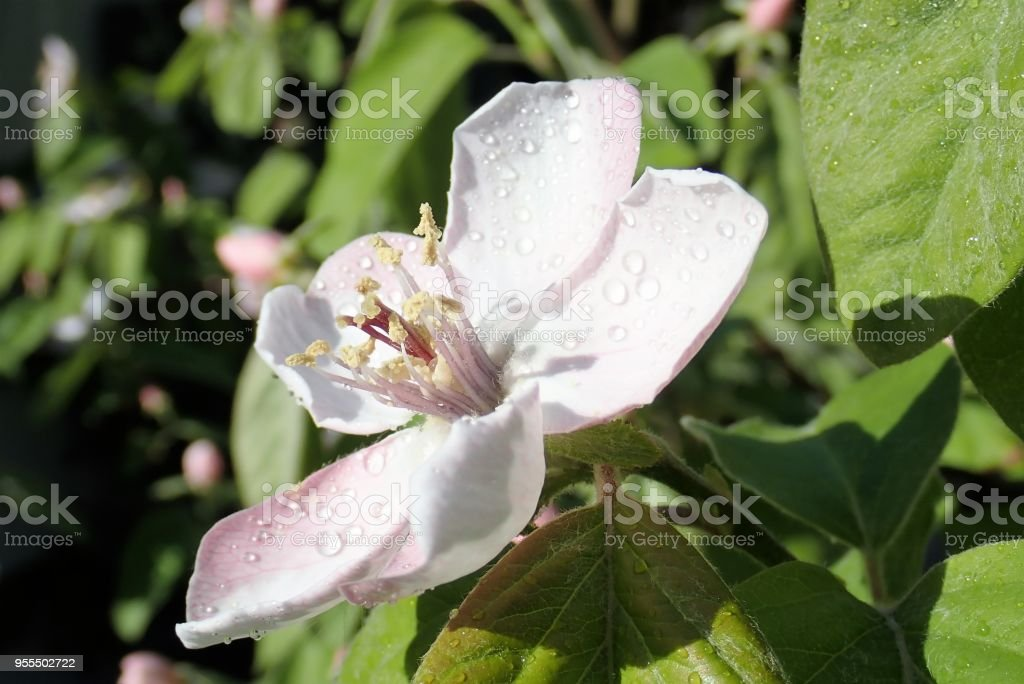 Close-up of quince fruit tree flower stock photo
