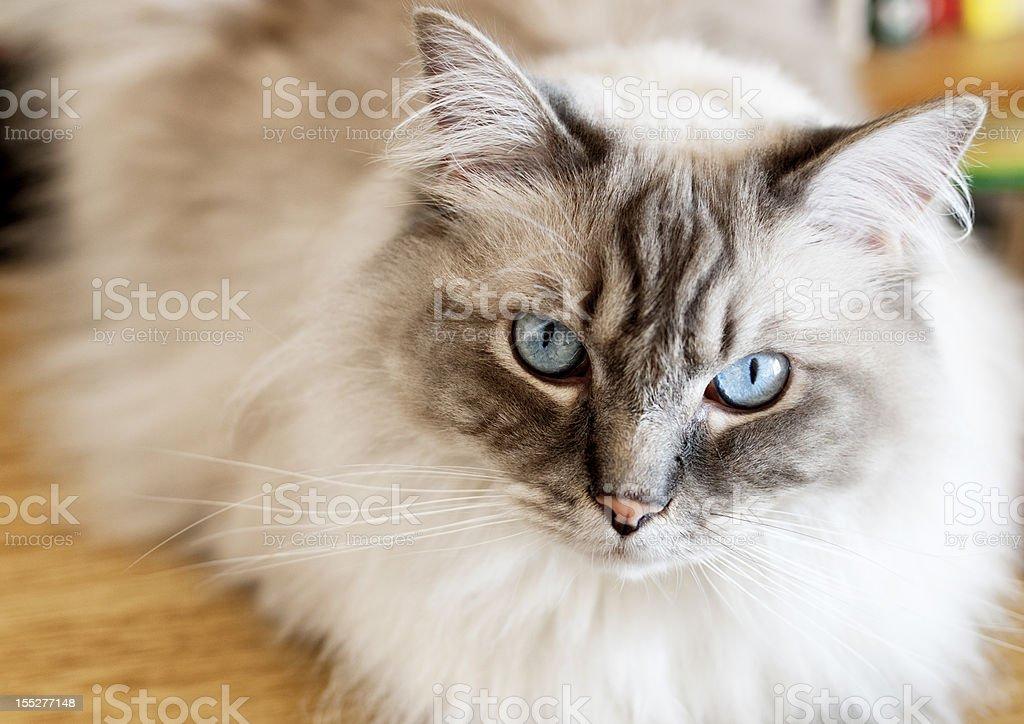 Close-up of Ragdoll Cat stock photo
