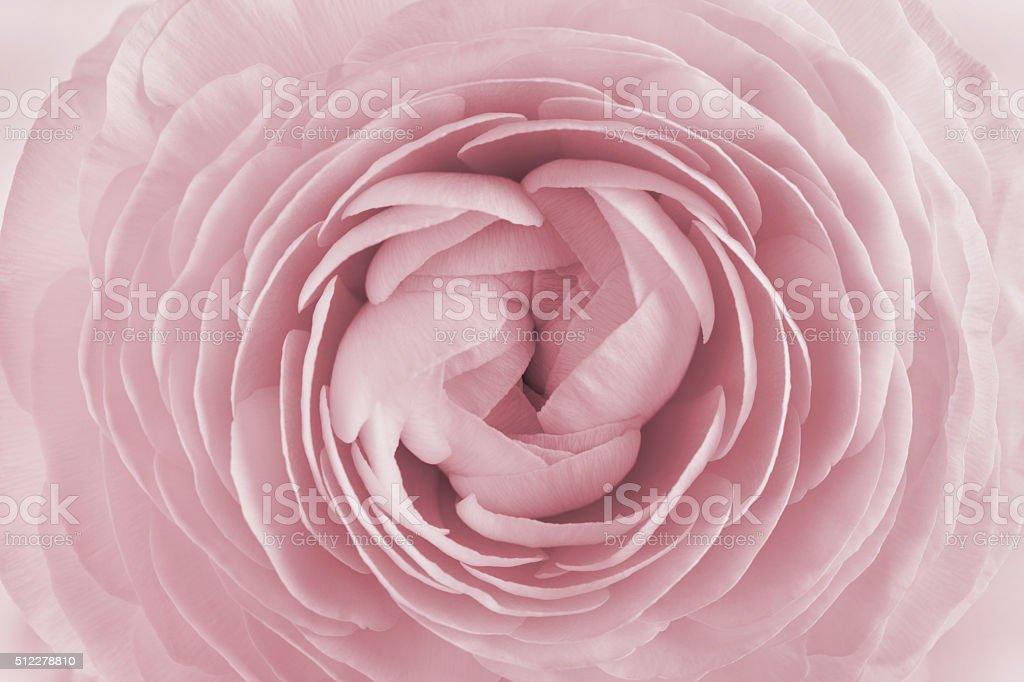 Closeup of ranunculus, spring flower, vintage floral pattern, macro - Royalty-free Aşk Stok görsel