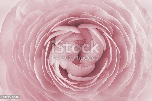 istock Closeup of ranunculus, spring flower, vintage floral pattern, macro 512278810