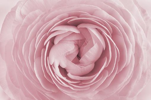 Closeup Of Ranunculus Spring Flower Vintage Floral Pattern Macro Stok Fotoğraflar & Aşk'nin Daha Fazla Resimleri