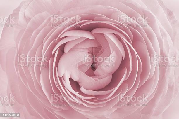 Closeup of ranunculus for background, beautiful spring flower, vintage floral pattern, macro