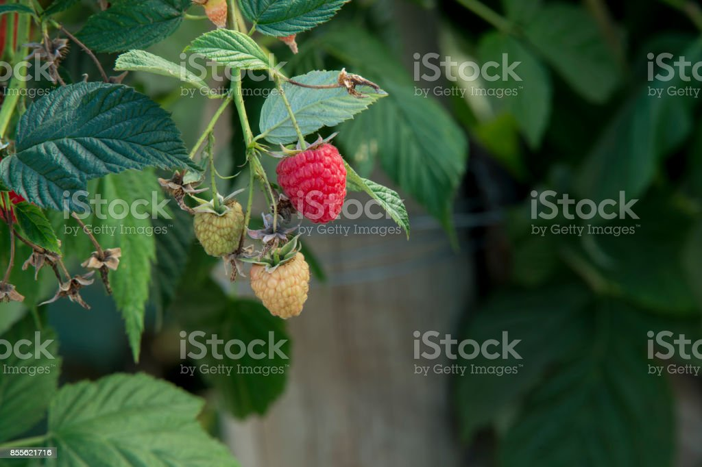 Close-up of Raspberries Ripening on the Vine stock photo