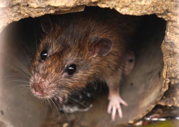Gros plan de rat sur un égout pourrait abeille à partir de grille de vidange - Photo