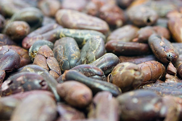 Close-up of Raw Cocoa Beans - Middle Focus stock photo