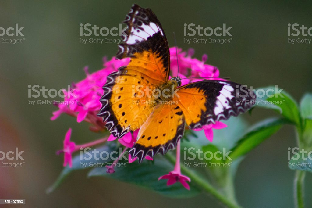 Close-up of Red Admiral Butterfly stock photo