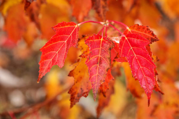 Close-up of red amur maple tree leaves stock photo