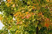 Close-up of red and golden autumn leaves red oak tree Quercus rubra. Beautiful autumn foliage in city park krasnodar. Public landscape 'Galitsky park' for relaxation and walking in sunny autumn