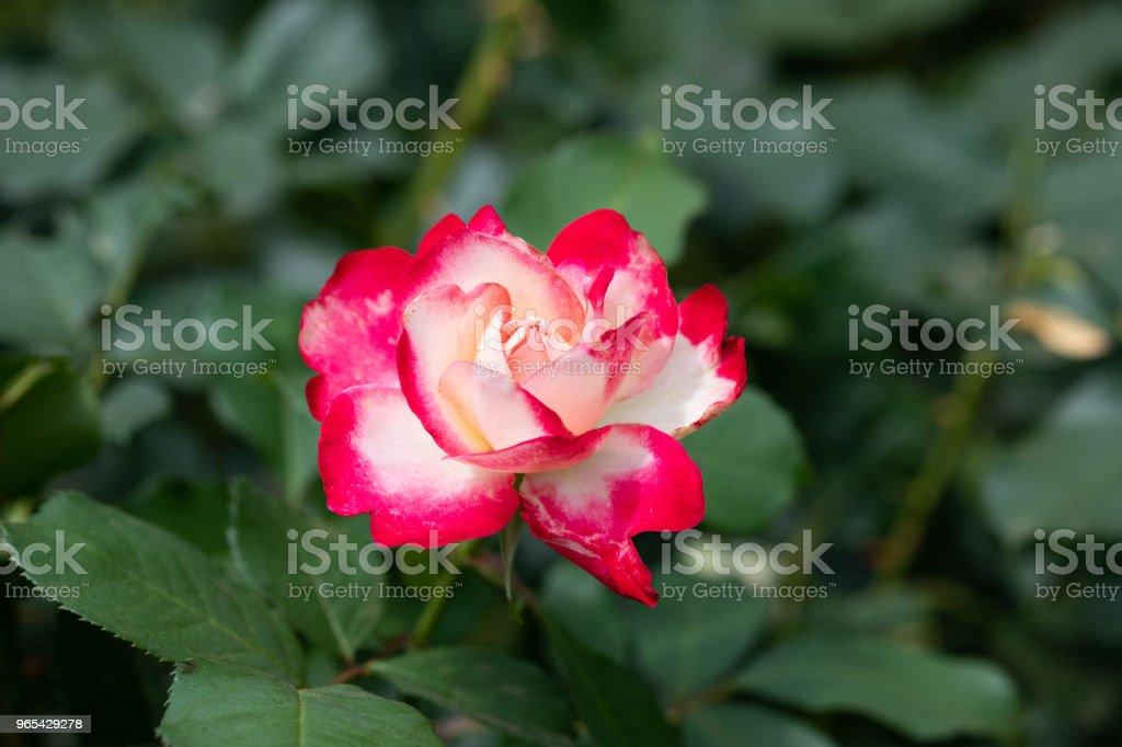 close-up of red and white rose flower 'Jubilé du Prince de Monaco' zbiór zdjęć royalty-free