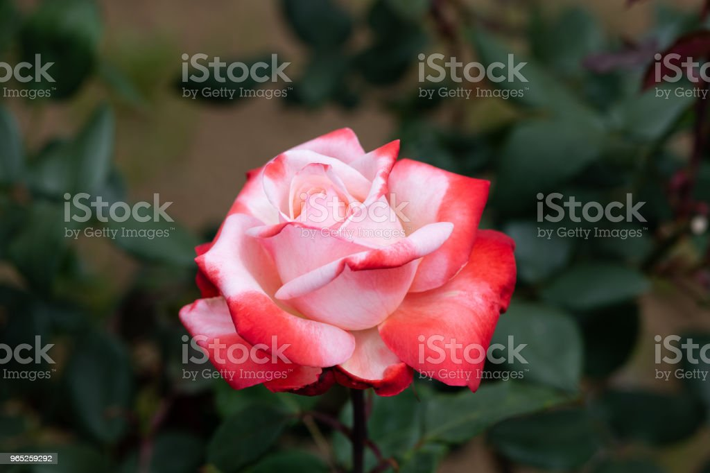 close-up of red and white rose flower 'Tancho' zbiór zdjęć royalty-free