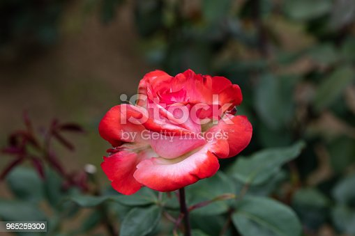 Closeup Of Red And White Rose Flower Tancho Stock Photo & More Pictures of Beauty