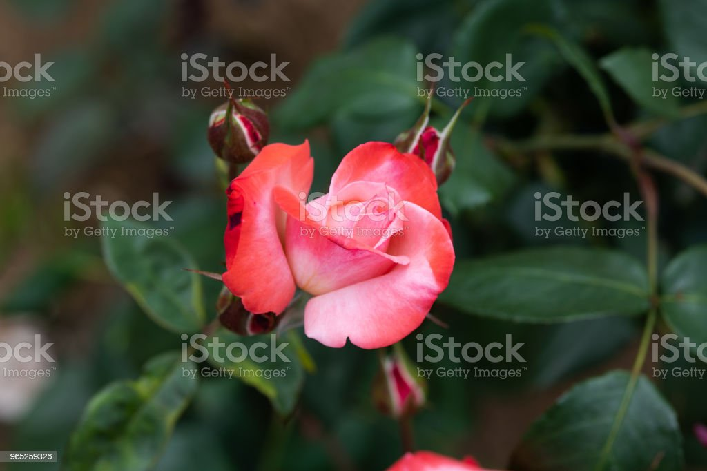 close-up of red and white rose flower 'Tancho' royalty-free stock photo