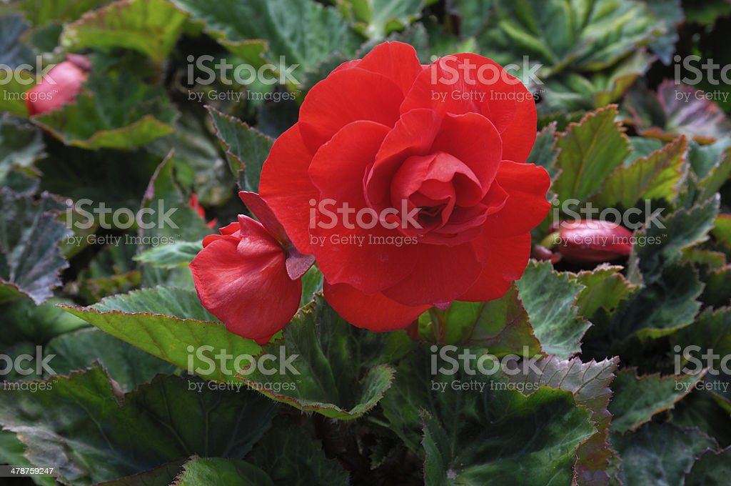 Close-up of Red Begonia flores - foto de stock