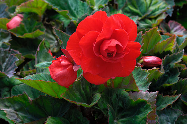 Close-up of Red Begonia Flowers foto