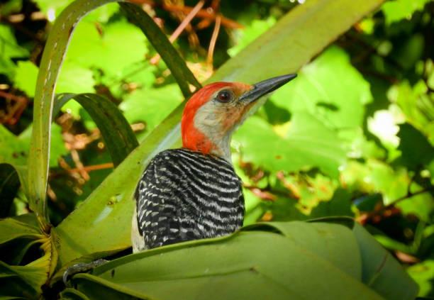 nahaufnahme von roten bellied woodpecker sitzt auf einem palmwedel - palmwedel stock-fotos und bilder