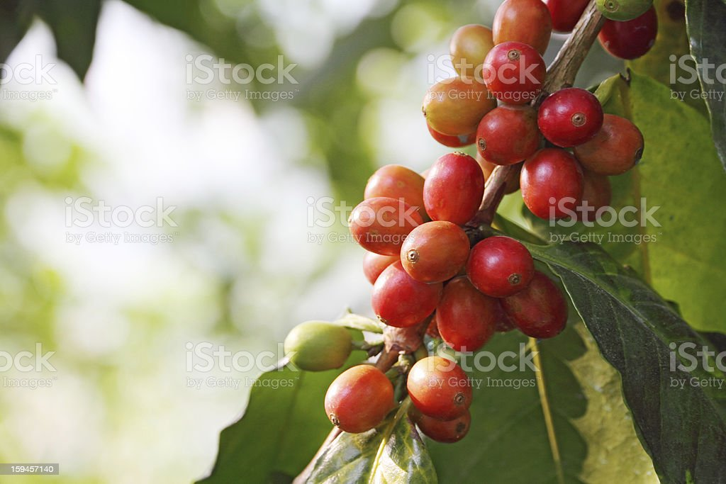 Close-up of red berries on a coffee tree royalty-free stock photo
