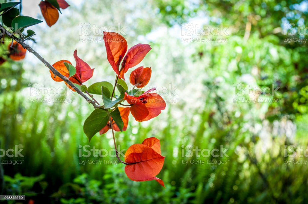 Closeup of red bougainvillea flowers - Royalty-free Asia Stock Photo