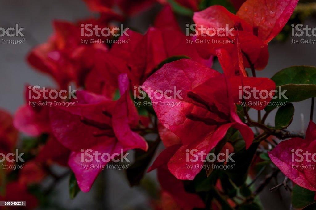 closeup of red bougainvillea flowers zbiór zdjęć royalty-free