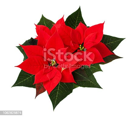 Closeup of red Christmas poinsettia flowers isolated on white