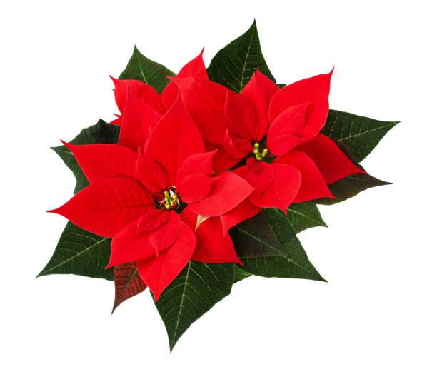 close-up van rode kerst poinsettia bloemen - kerstster stockfoto's en -beelden