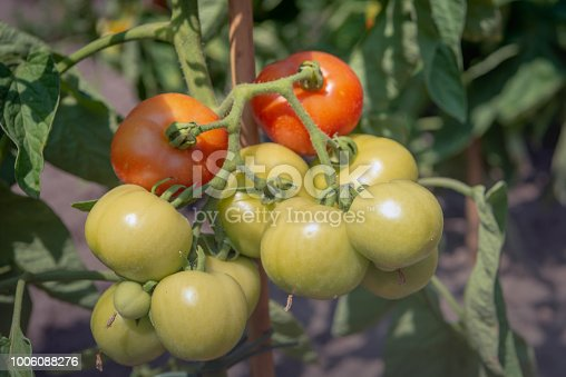 Ripening tomatoes at an amateur gardener. It is in the middle of a hot and sunny day in the Dutch summer season.