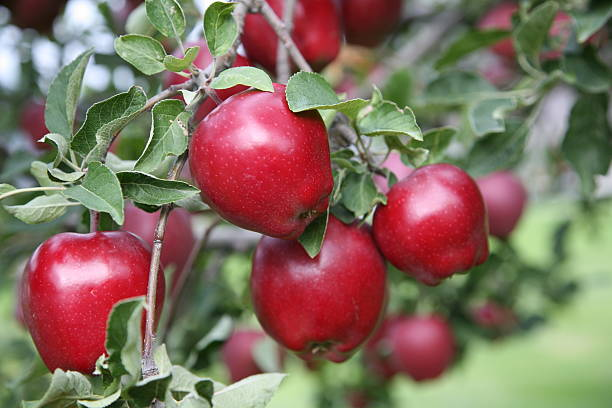 Closeup of Red Delicious Apples on a tree branch. A clump of Red Delicious Apples on a tree branch in B.C.'s South Okanagan / Similkameen. red delicious apple stock pictures, royalty-free photos & images