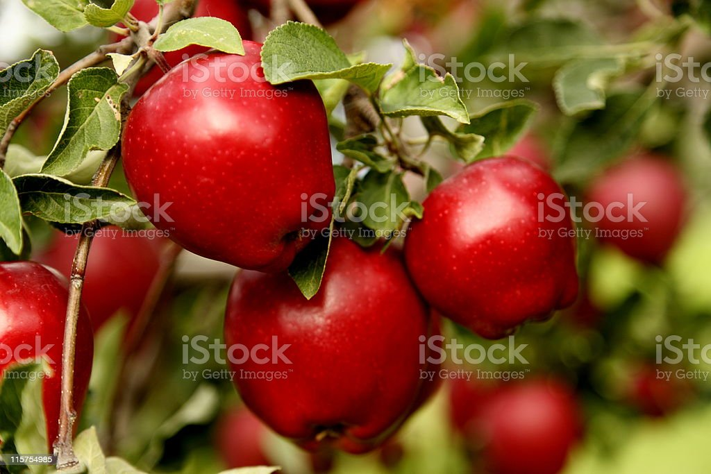 Closeup of Red Delicious Apples. stock photo