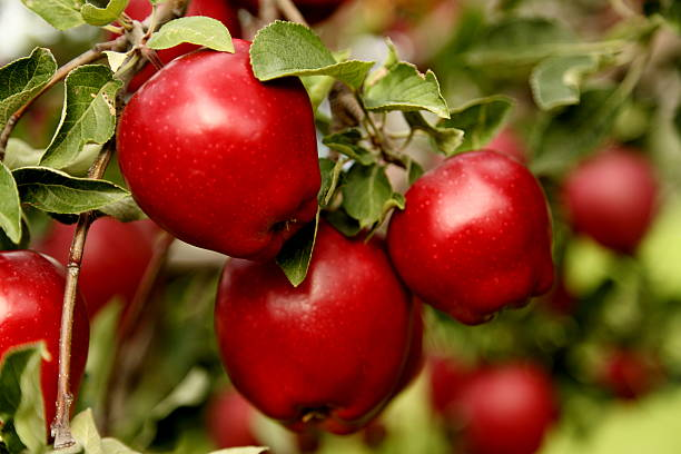 Closeup of Red Delicious Apples. A clump of Red Delicious Apples on a tree branch. apple orchard stock pictures, royalty-free photos & images