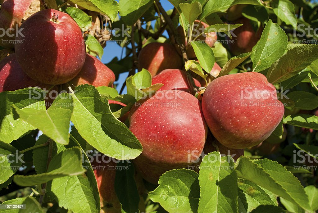Closeup of Red Delicious Apples. royalty-free stock photo