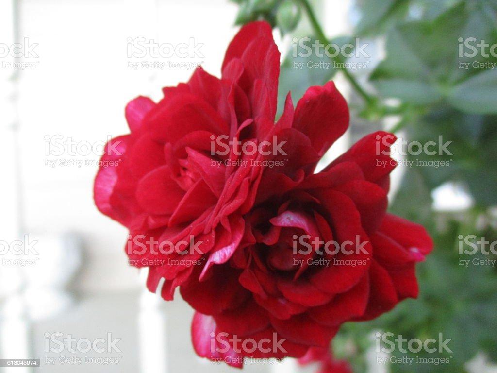Close-up of Red Geranium Blooms stock photo