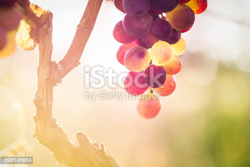 Red grape in the vineyard