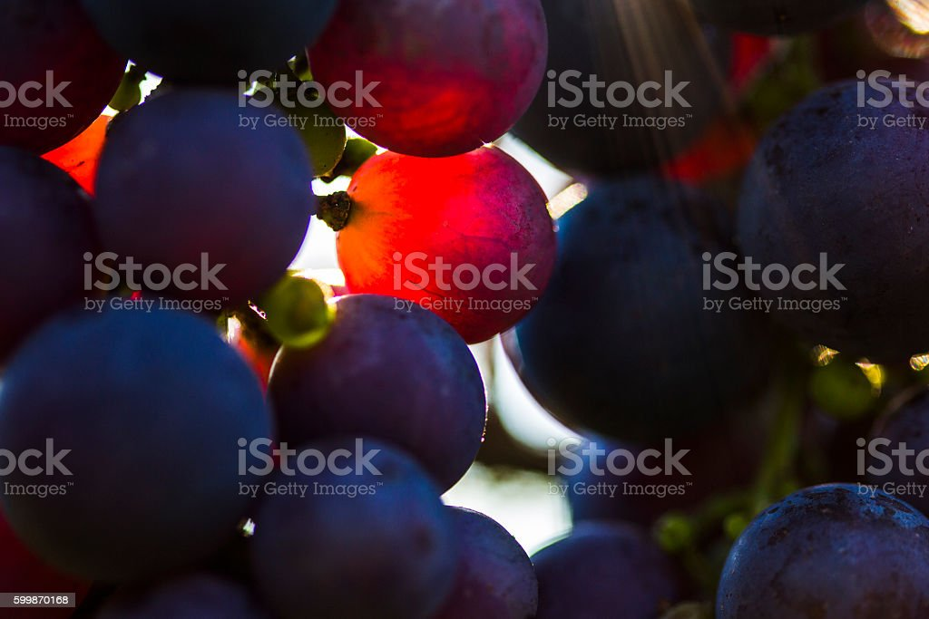 Close-up of Red grape in the vineyard royalty-free stock photo