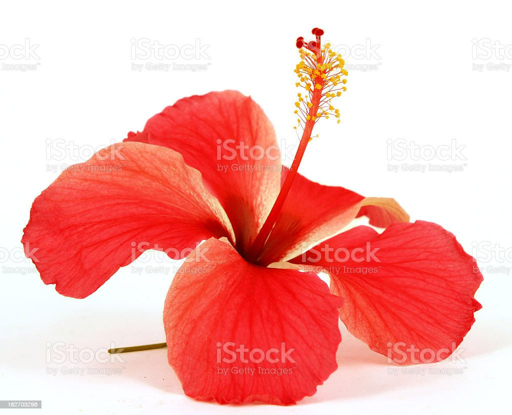 Closeup of red hibiscus on white background stock photo