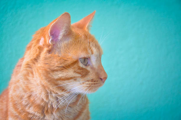 Close-up of red kitten cat on turquoise background stock photo