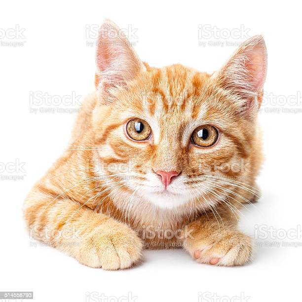 Closeup of red kitten isolated on a white background picture id514558793?b=1&k=6&m=514558793&s=612x612&h=bk7kjf ifhamnnt6yymilvq yh9vv5n0nvlgvf1bney=