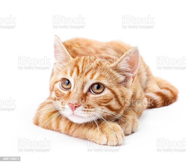 Closeup of red kitten on a white background picture id468139624?b=1&k=6&m=468139624&s=612x612&h=cbnigcimu5sigyrff xmqrozqidxyuarpdnrxjkz8uy=