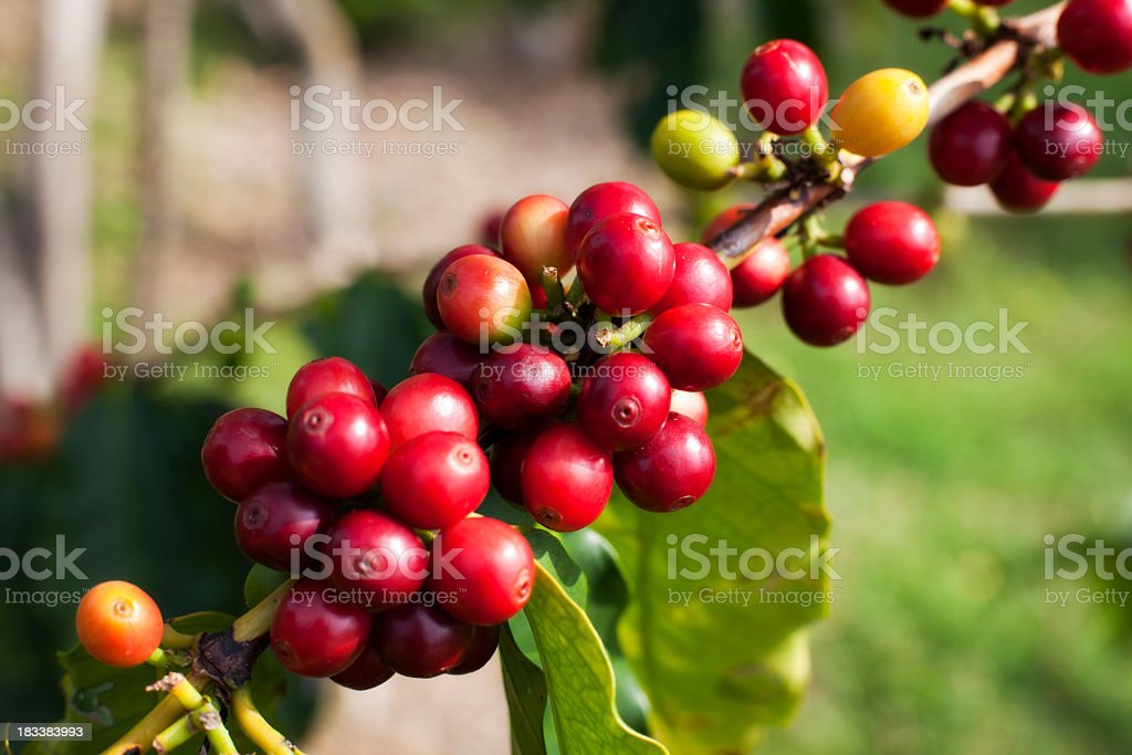 Close-up of red Kona coffee cherries stock photo