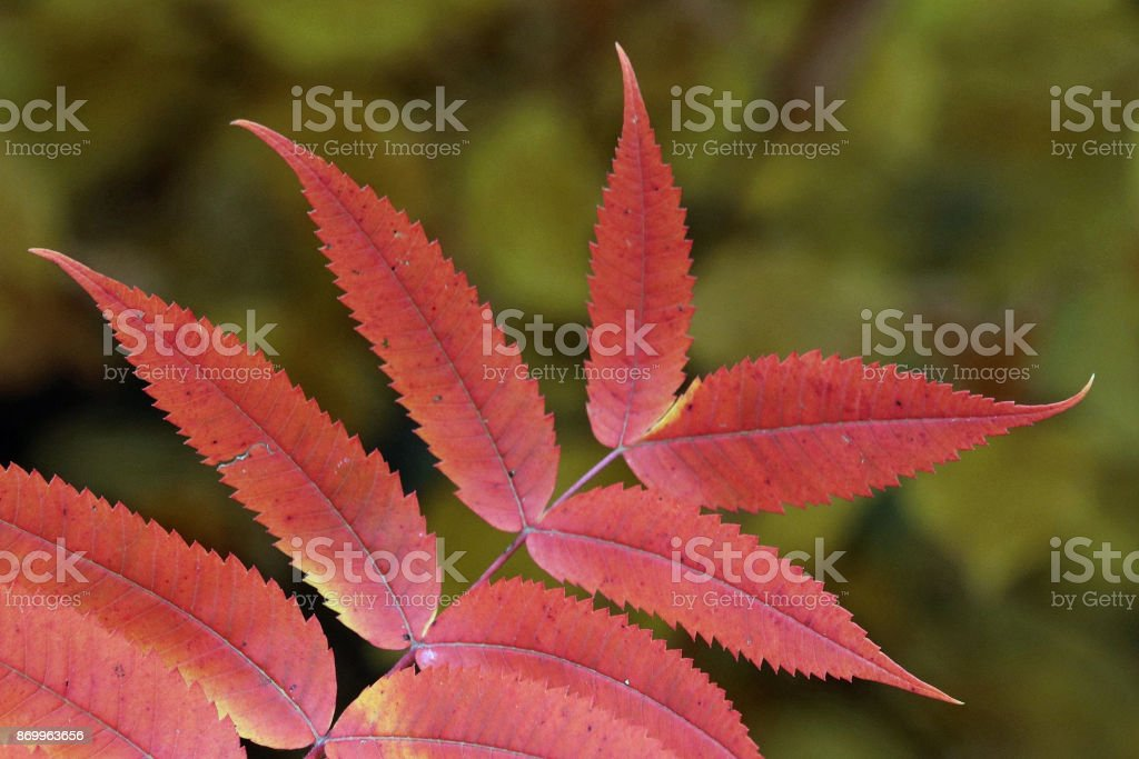 Close-up of Red Leaves in Autumn stock photo