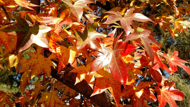 Close-up of red leaves of autumn near Redlands California Close-up of red leaves of autumn near Redlands California redlands california stock pictures, royalty-free photos & images