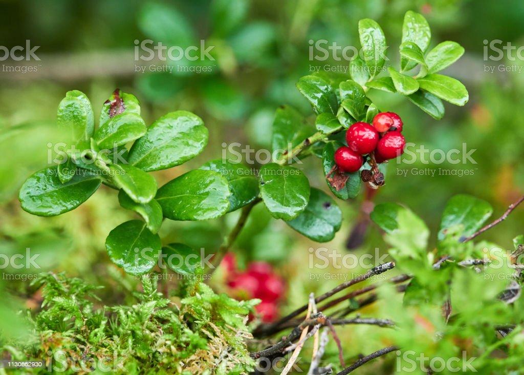 Closeup of red lingonberries stock photo