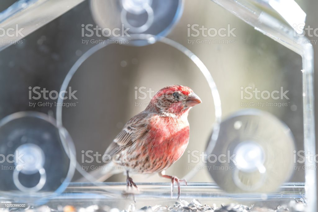 Closeup Of Red Male House Finch Bird Sitting Perched On