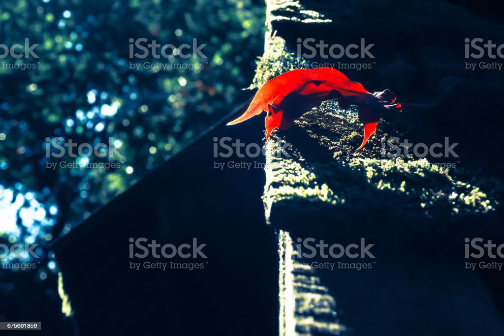 Closeup of red maple leaves on wooden roof. royalty-free stock photo