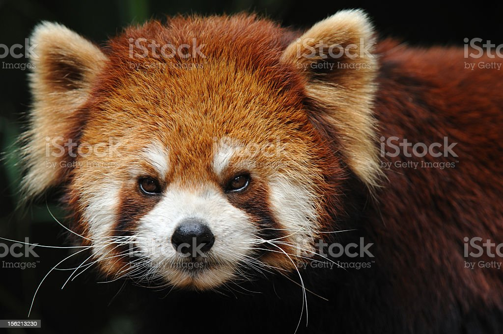 Close-up of red panda angry face royalty-free stock photo