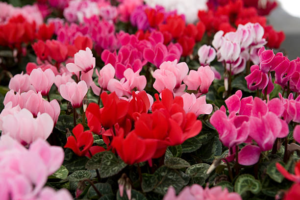 Close-up of red, pink, and fuchsia-colored cyclamen stock photo