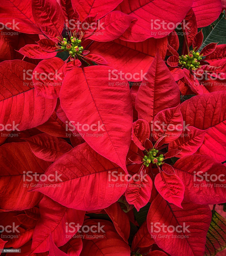 Closeup of Red Poinsettia, Christmas Star flowers stock photo