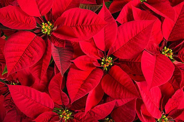 closeup of red poinsettia flowers - kerstster stockfoto's en -beelden