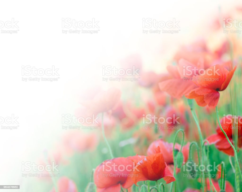closeup of red poppy on cereal field royalty-free stock photo