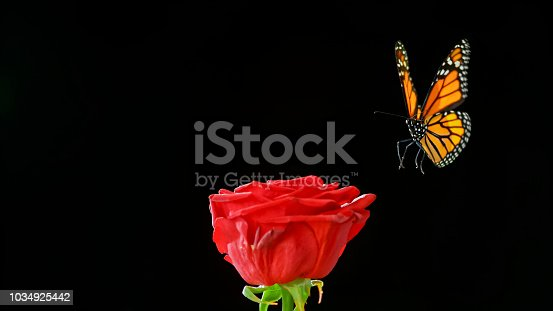 Close-up of red rose and butterfly at night.